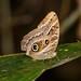 Dusky Owl-Butterfly (Caligo illioneus oberon)