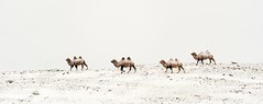 Camels in Snow (David Swindler (ActionPhotoTours.com)) Tags: asia mongolia camel camels snow winter