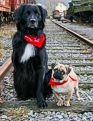 Do you have any idea where we are? (h.dirix) Tags: dogs pug retriever collie comrades buddy lost remembrance