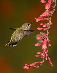 The Hummingbird and red yucca blossom (Eric Gofreed) Tags: arizona calliopehummingbird hummingbird mybackyard redyucca sedona yavapaicounty multiflashphotography