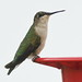 Ruby-throated Hummingbird female 01-20191222