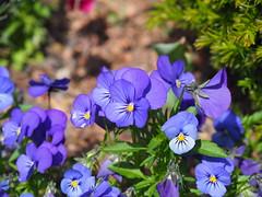 Blooming Flower seen in Worms am Rhein, Germany 2019 - at the Festplatz-Park - 2019 (DieterLo1) Tags: flowers flower blossoms blumen blume blooming blüten blue stiefmütterchen blaue plants pflanze