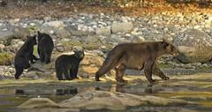 20190827Z7_5941FLR (cisco42) Tags: blackbear ursusamericanus mammal predator bc canada britishcolumbia creek cubs sow