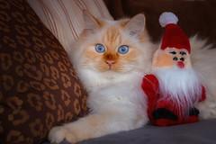 Call me stupid but .... (FocusPocus Photography) Tags: tofu dragon katze kater cat weihnachtsmann santa weihnachten christmas
