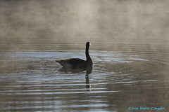 The Mystery of  Faith... 💜✝💜 (Walt Snyder) Tags: canoneos5dmkiii canadagoose goose canonef100400mmf4556lisiiusm pond lake water reflection portrait geen shadows shade silhouette geese canadageese mist catholic christmas