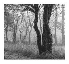 Foggy morning near Lake Kell (werner-marx) Tags: analog film meinfilmlab 35mm canonftb ilforddelta3200 kellamsee lakekell fog foggy mist filmgrain