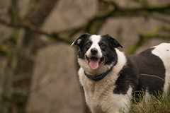 Every Day's a Happy Day (JJFET) Tags: border collie dog sheepdog herding