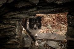 Hide n Seek .. Paddy eventually finding The Elk (JJFET) Tags: border collie dog sheepdog herding
