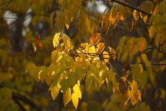 Осенний свет / Autumn light (Владимир-61) Tags: осень октябрь природа листья листва свет autumn october nature leaf leaves foliage fall light sony ilca68 minolta75300