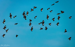 Birds of a feather flock together (imsalbukhari) Tags: bird birds wildlife birdphotography birdphotograph wildlifephotography wildlifephotograph flight fly flying sky blue flock birdflock flockofbirds myna commonmyna