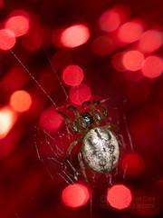 Merry Christmas (jciv) Tags: spider weslaco texas unitedstates file:name=dsc01886 macro arachnid christmas