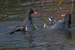 fighting moorhens (Explore) (DODO 1959) Tags: wildlife moorhen outdoor avian fauna birds water flight animal nature wwt llanelli wales carmarthenshire 7dmk2 canon 100400mmmk2
