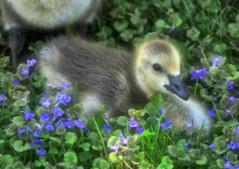 Now...Onward To Spring (Vidterry) Tags: goose gosling canadagoose spring
