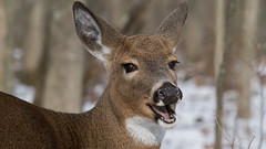 Merry Christmas (jakegurnsey) Tags: deer wildlife animal sony ontario canada antler whitetailed gm 100400mm f4556 christmas doe