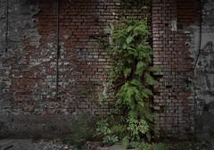Vertical Garden (michael_hamburg69) Tags: lostplace offthemap abandonedplace urbanexploration urbex phototourmit3daybeard3tagebart unterwegsmitchristian raw greenwall verticalgarden fern farn fassadenbegrünung