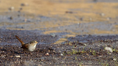 Swamp Sparrow (atlnature) Tags: animalia taxonomy:genus=melospiza chordata taxonomy:family=passerellidae moerasgors болотнаяовсянка passerellidae taxonomy:common=болотнаяовсянка taxonomy:common=strnadecmokřadní melospiza taxonomy:common=bruantdesmarais taxonomy:class=aves gorriónpantanero bruantdesmarais taxonomy:common=marshsparrow kaislasirkku melospizageorgiana taxonomy:common=ticoticodospântanos taxonomy:kingdom=animalia strnadecmokřadní taxonomy:order=passeriformes taxonomy:subphylum=vertebrata taxonomy:phylum=chordata vertebrata taxonomy:common=swampsparrow sumpfammer taxonomy:binomial=melospizageorgiana aves marshsparrow piedmontpark swsp swampsparrow taxonomy:species=georgiana taxonomy:common=moerasgors taxonomy:common=swsp taxonomy:common=gorriónpantanero taxonomy:common=sumpfammer taxonomy:common=kaislasirkku passeriformes ticoticodospântanos