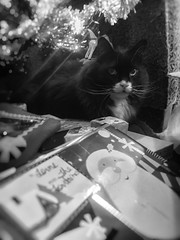 Busted Checking Gifts (Katrina Wright) Tags: img2381edit2 cat feline christmas decorative wrappingpaper cute whiskers eyes pets bw louis