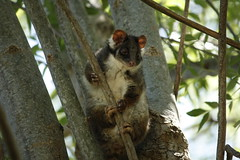 Possy, our possum (nickant44) Tags: australia clarendon possum canon 40d 55250mm efs tree critter fauna native