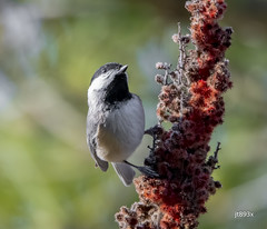Black-capped Chickadee (jt893x) Tags: 150600mm bird blackcappedchickadee chickadee d500 jt893x nikon nikond500 poecileatricapillus sigma sigma150600mmf563dgoshsms songbird