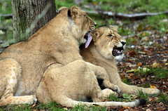 asiatic lion Blijdorp BB2A1193 (j.a.kok) Tags: animal asia azie asiaticlion asianlioncub asianlion mammal predator zoogdier dier leeuw lion lioncub pantheraleopersica blijdorp