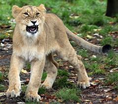 asiatic lion Blijdorp BB2A0562 (j.a.kok) Tags: animal asia azie asiaticlion asianlioncub asianlion mammal predator zoogdier dier leeuw lion lioncub pantheraleopersica blijdorp
