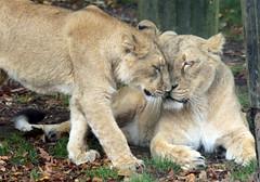 asiatic lion Blijdorp BB2A0553 (j.a.kok) Tags: animal asia azie asiaticlion asianlioncub asianlion mammal predator zoogdier dier leeuw lion lioncub pantheraleopersica blijdorp