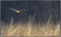 Short Eared Owls (RKop) Tags: pickawaycounty shortearedowl raphaelkopanphotography d500 600mmf4evr 14xtciii nikon nature