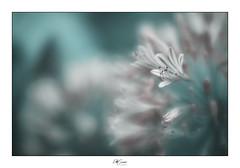 Lucid Dreams (Eddy Summers) Tags: pentaxk1 pentaxaustralia pentax k1captures k1 botanics plant plantlife leaf life organic flower flowers flowerfriday aussieflower petals stem delicate lensbaby lensbabyvelvet velvet56 lilyofthenile agapanthus