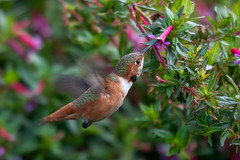 South Coast Botanic Garden - 12/24/19 - #9 (WheelGoodPhotos) Tags: palosverdespeninsula california unitedstatesofamerica southcoastbotanicgardens nikond500 tamron adobelightroom birds nikon hummingbirds allenshummingbird selasphorussasin