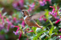 South Coast Botanic Garden - 12/24/19 - #17 (WheelGoodPhotos) Tags: palosverdespeninsula california unitedstatesofamerica southcoastbotanicgardens nikond500 tamron adobelightroom birds nikon hummingbirds allenshummingbird selasphorussasin