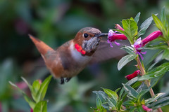 South Coast Botanic Garden - 12/24/19 - #18 (WheelGoodPhotos) Tags: palosverdespeninsula california unitedstatesofamerica southcoastbotanicgardens nikond500 tamron adobelightroom birds nikon hummingbirds allenshummingbird selasphorussasin