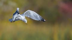 Ring-billed Gull  9360 (Paul McGoveran) Tags: bif bird birdinflight hendrievalley nature nikon500mmf4 nikond850 ringbilledgull wings coth5