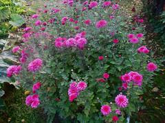Хризантемы (lvv1937) Tags: sunsetslandscapesandflowers photosforthecreationofbeautyaroundtheworld flickrunofficial architecturelandscapeandcitiesimagesarchirefcom цветы астры сад