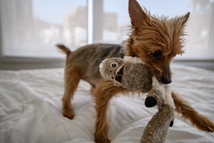 Caught (onefivefour) Tags: dog yorkie playtime playing toy squirrel yorkshire terrier