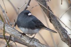 Dark-eyed Junco (jt893x) Tags: 150600mm bird d500 darkeyedjunco jt893x junco juncohyemalis nikon nikond500 sigma sigma150600mmf563dgoshsms songbird