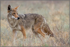 Coyote Closeup 8958 (maguire33@verizon.net) Tags: coyote wildlife ontario california unitedstatesofamerica