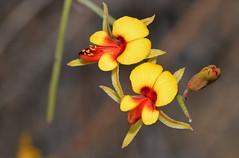 Jacksonia racemosa (jeans_Photos) Tags: taxonomy:binomial=jacksoniaracemosa geo:country=australia geo:state=westernaustralia geo:lat=32085995 geo:lon=116596483 notthreatened pea fabaceae jacksonia red yellow jacksoniaracemosa wandoonationalpark westernaustralia york
