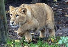 asiatic lion Blijdorp BB2A0515 (j.a.kok) Tags: animal asia azie asiaticlion asianlioncub asianlion mammal predator zoogdier dier leeuw lion lioncub pantheraleopersica blijdorp