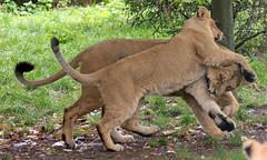 asiatic lion Blijdorp BB2A1116 (j.a.kok) Tags: animal asia azie asiaticlion asianlioncub asianlion mammal predator zoogdier dier leeuw lion lioncub pantheraleopersica blijdorp