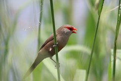 Common Waxbill / Rooibeksysie (Pixi2011) Tags: birds southafrica africa nature wildbirds