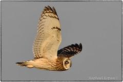 Short Eared owl closeup (RKop) Tags: pickawaycounty raphaelkopanphotography shortearedowl nikon d500 600mmf4evr