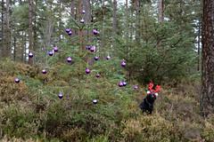 Festive walk (moniquerebanks) Tags: dogwalking barney labrador festive christmas baubles trees wald forest bos nature dog nikond7100 christmasday christmastree