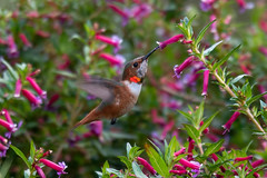 South Coast Botanic Garden - 12/24/19 - #6 (WheelGoodPhotos) Tags: palosverdespeninsula california unitedstatesofamerica southcoastbotanicgardens nikond500 tamron adobelightroom birds nikon hummingbirds allenshummingbird selasphorussasin