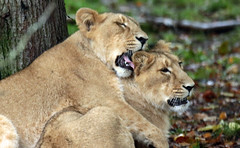 asiatic lion Blijdorp BB2A1179 (j.a.kok) Tags: animal asia azie asiaticlion asianlioncub asianlion mammal predator zoogdier dier leeuw lion lioncub pantheraleopersica blijdorp