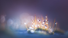 Moss water drops (Dhina A) Tags: sony a7rii ilce7rm2 a7r2 a7r kaleinar mc 100mm f28 kaleinar100mmf28 5n m42 nikonf russian ussr soviet 6blades manualfocus bokeh lens