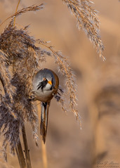 Bearded reedling (ian._harris) Tags: nikon d7200 sigma500mmf45 england telephoto 2019 autumn britain great gb uk united outside outdoor day camera photo photography photograph photographer picture capture image snap shot flickr visit visitor wildlife wild nature natur naturephotography beardedreedling