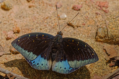 Black-tip Archduke (m) (scubahenlik) Tags: butterfly nymphalidae limentinidea male insect nature khaosok thailand