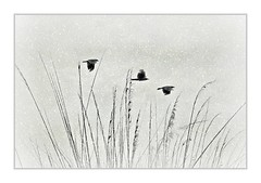 Snow Birds (Christina's World :) Tags: creative crows three grasses textures california snow weather blackandwhite blackbird nature sky sandiego 1543 topclass fragiletouch poetic