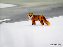 Gorgeous 025 (Phocal Art) Tags: alaska anchorage animal orange red redfox usa vulpesvulpes white wildlife cold objecttowhichtheactionoftheseaisdirected snow snowing truefox urban urbanwildlife