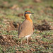 An Indian Courser
